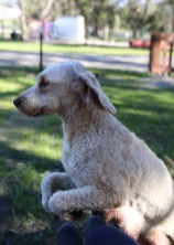 Adelaide - Banksia park puppies - 1 of 46 (34)