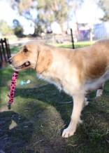 IVY - banskia park puppies - 1 of 50 (18)