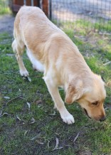 IVY - banskia park puppies - 1 of 50 (4)