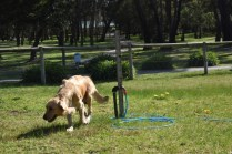 Banksia Park Puppies Isla 5