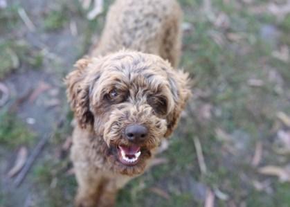 BOBBLES - Bankisa park puppies - 1 of 20 (13)