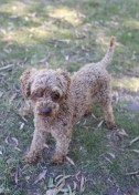 BOBBLES - Bankisa park puppies - 1 of 20 (19)