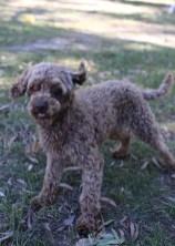 BOBBLES - Bankisa park puppies - 1 of 20 (3)