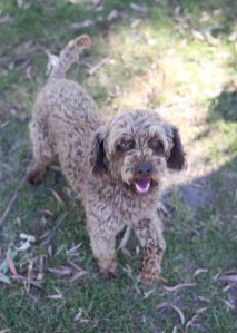 BOBBLES - Bankisa park puppies - 1 of 20 (8)