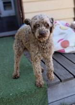 BOBBLES - Bankisa park puppies - 1 of 20 (9)