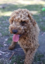 AJ - Bankisa park puppies - 1 of 47 (7)
