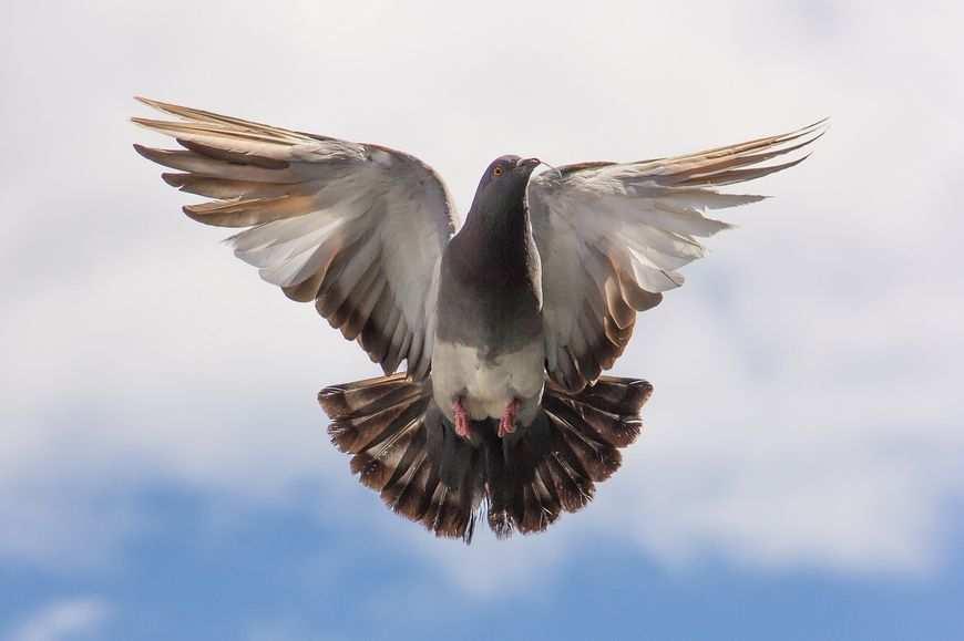 Leczenie gołębi