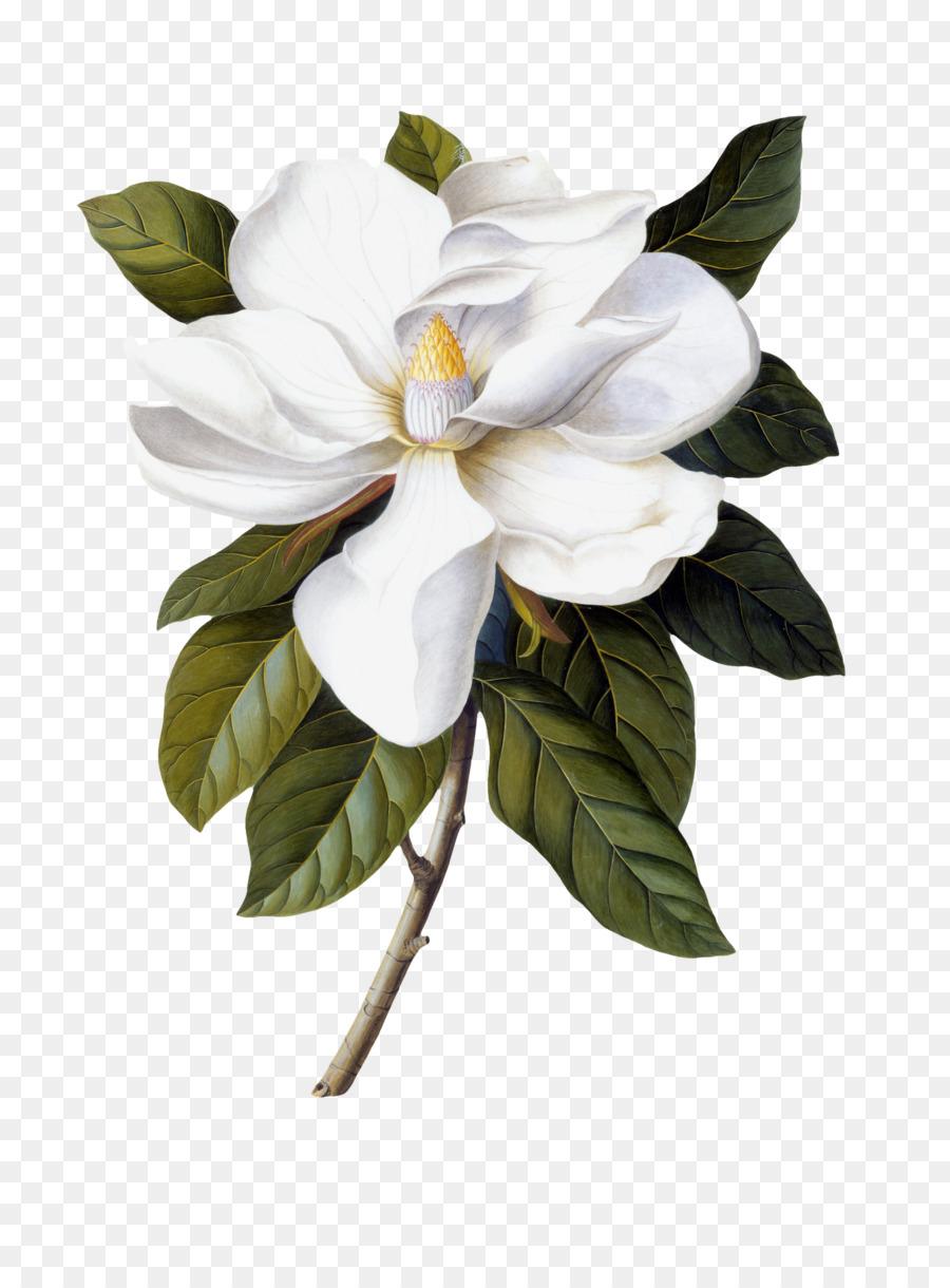 Magnolia Flower Clip Art : magnolia, flower, Flowers, Clipart, Background, Download, 1701*2304, Transparent, Southern, Magnolia, Download., CleanPNG, KissPNG