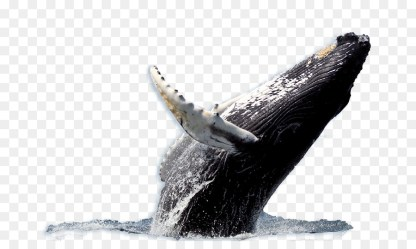 Whale Cartoon png download 738*523 Free Transparent Humpback Whale png Download CleanPNG / KissPNG