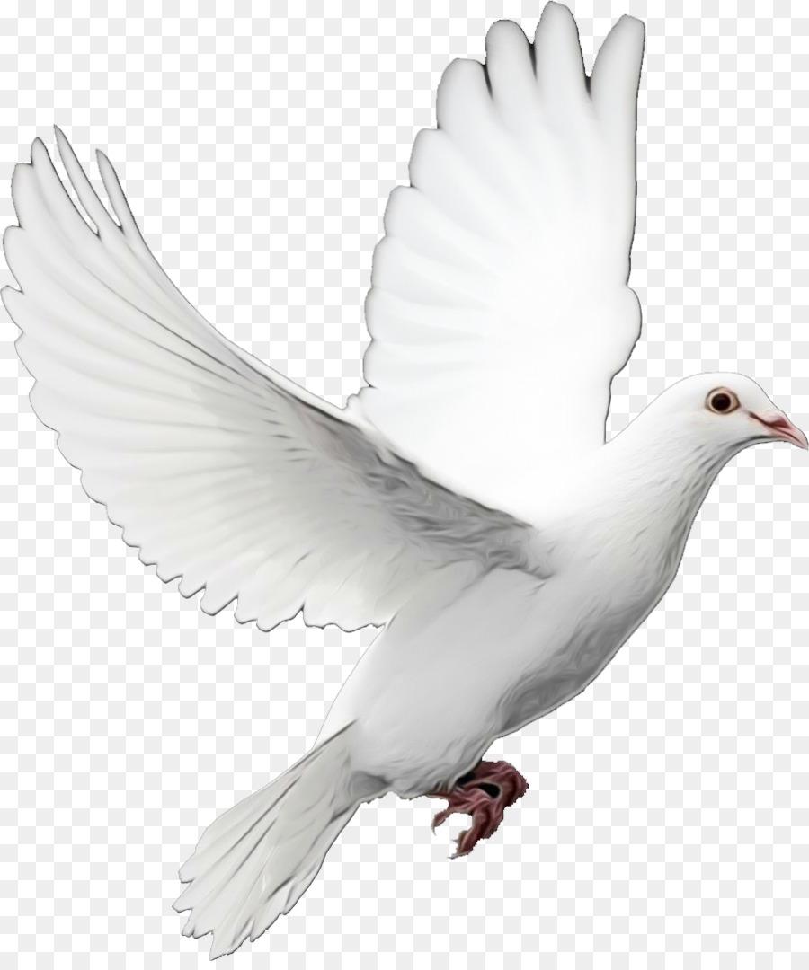 Burung Dara Png : burung, Download, 903*1075, Transparent, Pigeons, Doves, Download., CleanPNG, KissPNG