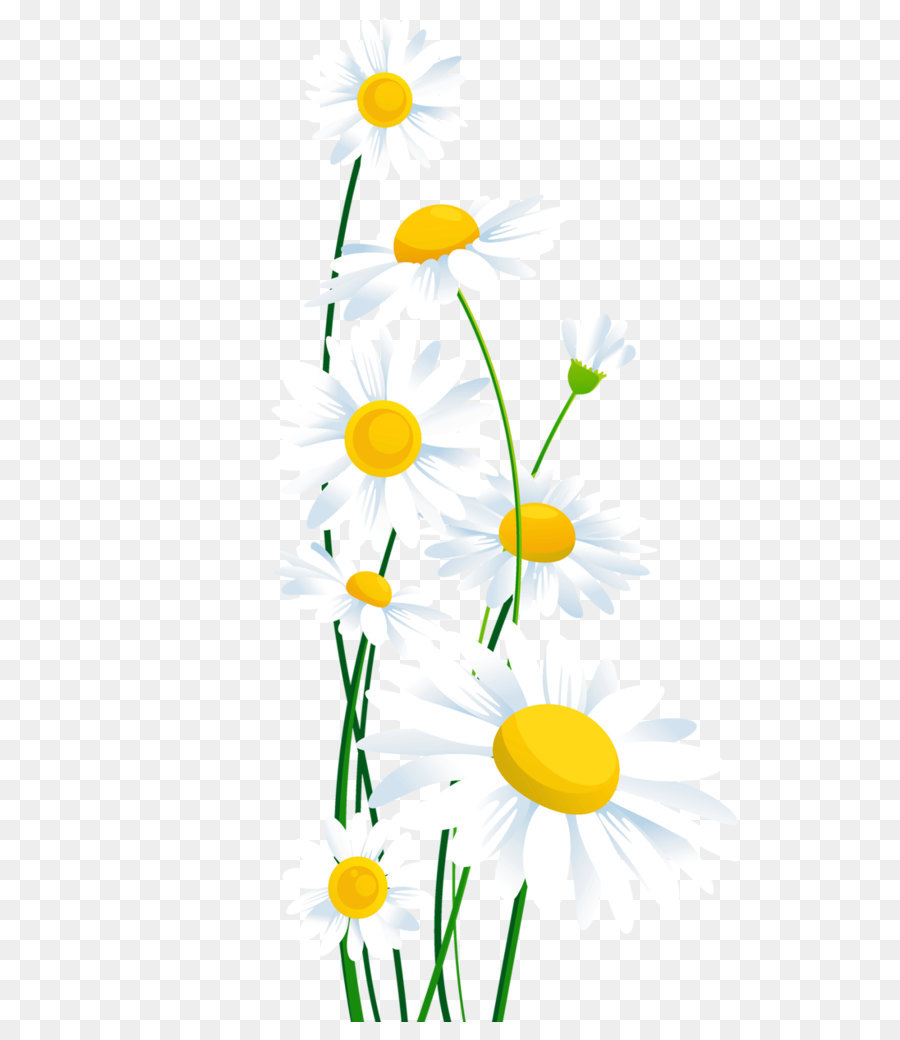medium resolution of common daisy flower chamomile petal yellow png