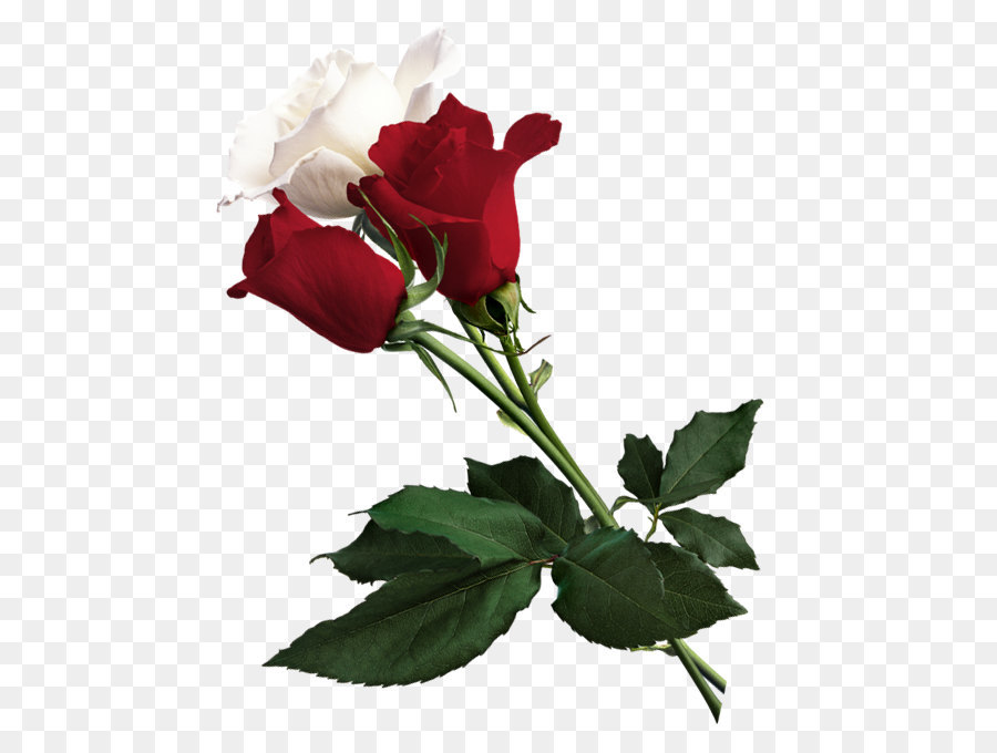 White Rose Of York Flower Red White Rose Of York White