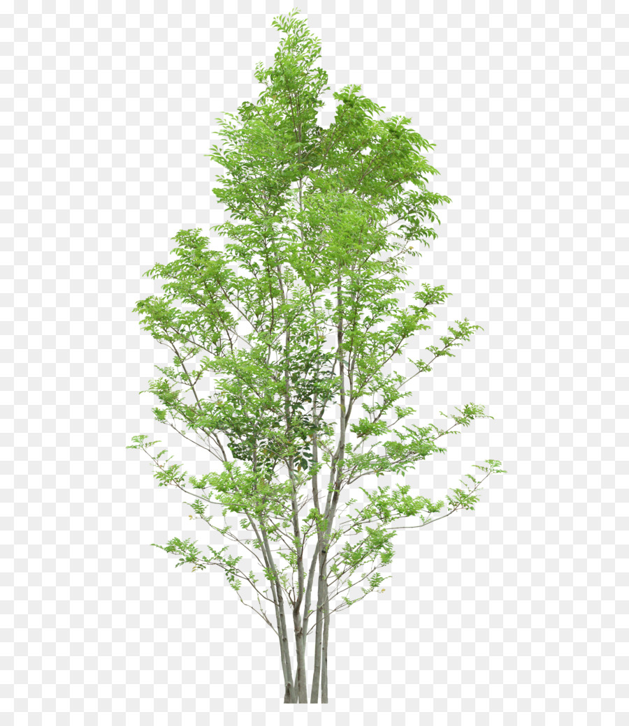 medium resolution of tree diagram web browser evergreen plant png