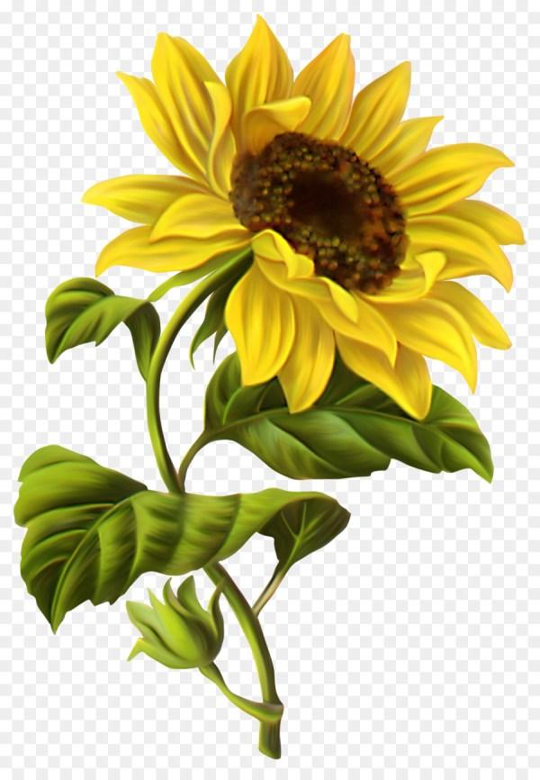 common sunflower drawing illustration