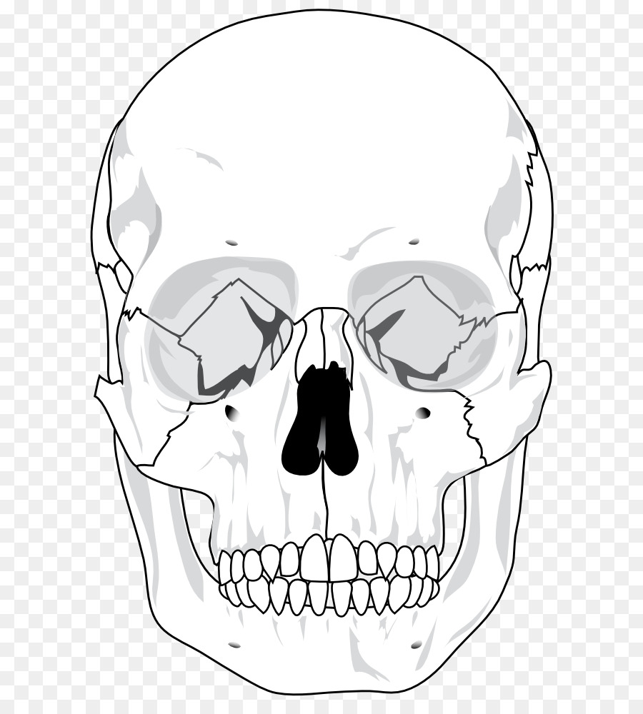 hight resolution of skull human skeleton anatomy human line art png