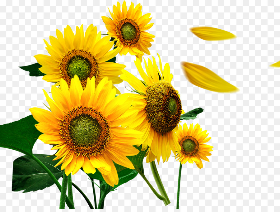 Iphone 5 Wallpaper Floral Common Sunflower Petal Sunflower Png Download 1071 799