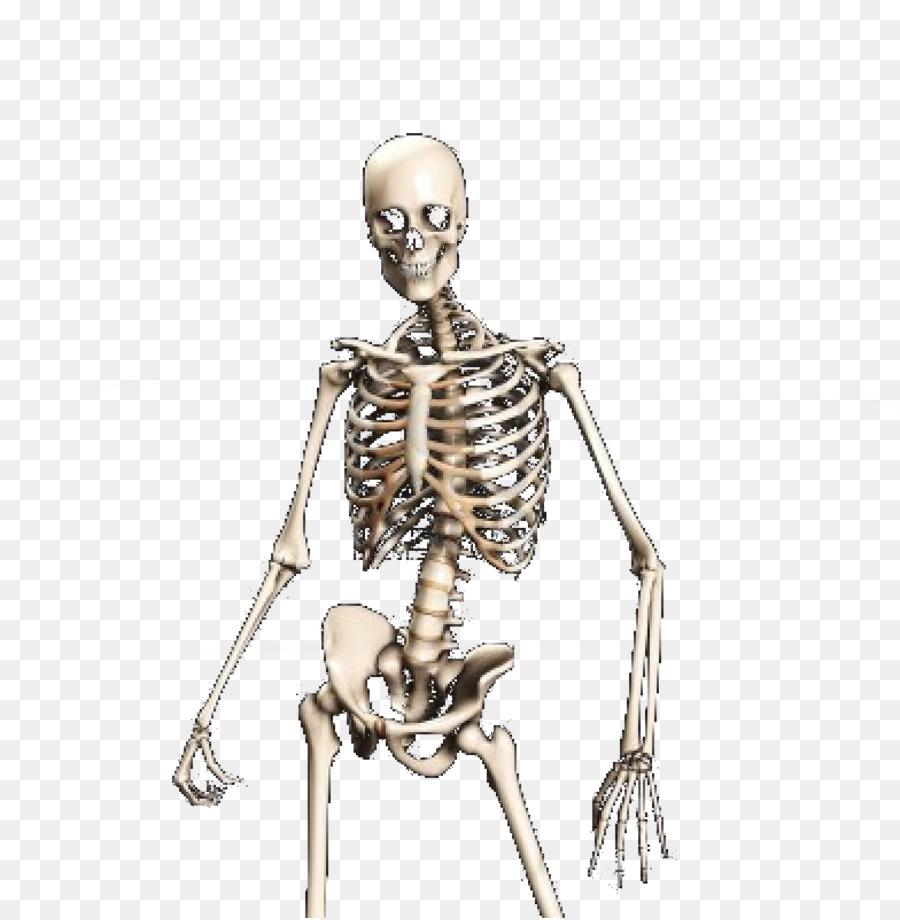 Human skeleton Skull Bone  Skeleton Bones Anatomy