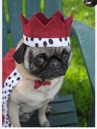Pugs in Costumes Puppy Pet Animal - pug png download ...