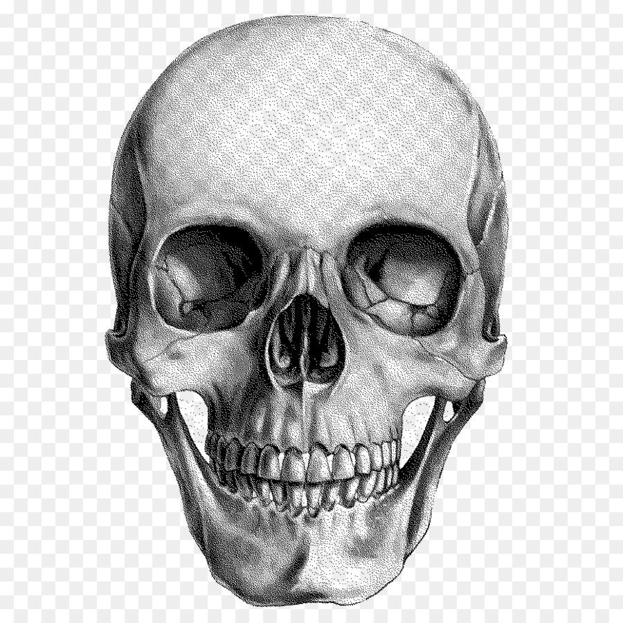 Human skull Drawing Anatomy  skull png download  932932