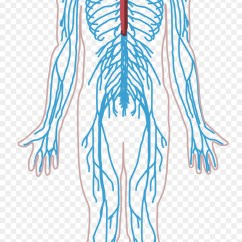 Brain Diagram Unlabeled 2002 Ford Explorer Sport Trac Radio Wiring Peripheral Nervous System Nerve Human Body Central - Png Download ...