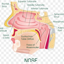 Diagram Of The Human Nose Spst Switch Wiring Anatomy Nasal Cavity Png Download
