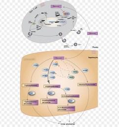 efavirenz mechanism of action pharmaceutical drug text diagram png [ 900 x 940 Pixel ]