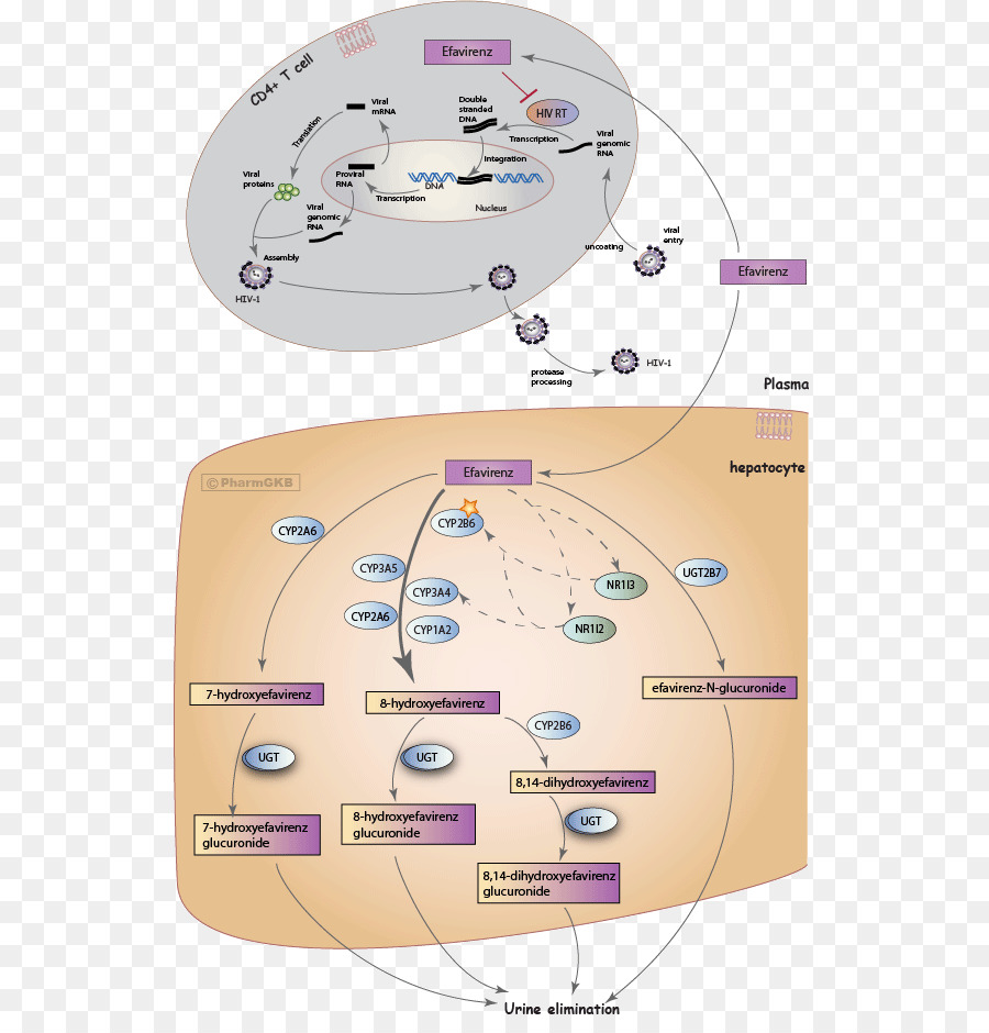 hight resolution of efavirenz mechanism of action pharmaceutical drug text diagram png