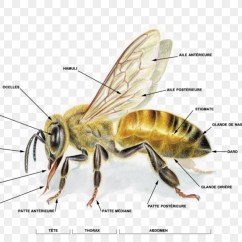 Hornet Anatomy Diagram Venn Worksheet Grade 4 Western Honey Bee Life Cycle Human Body Png