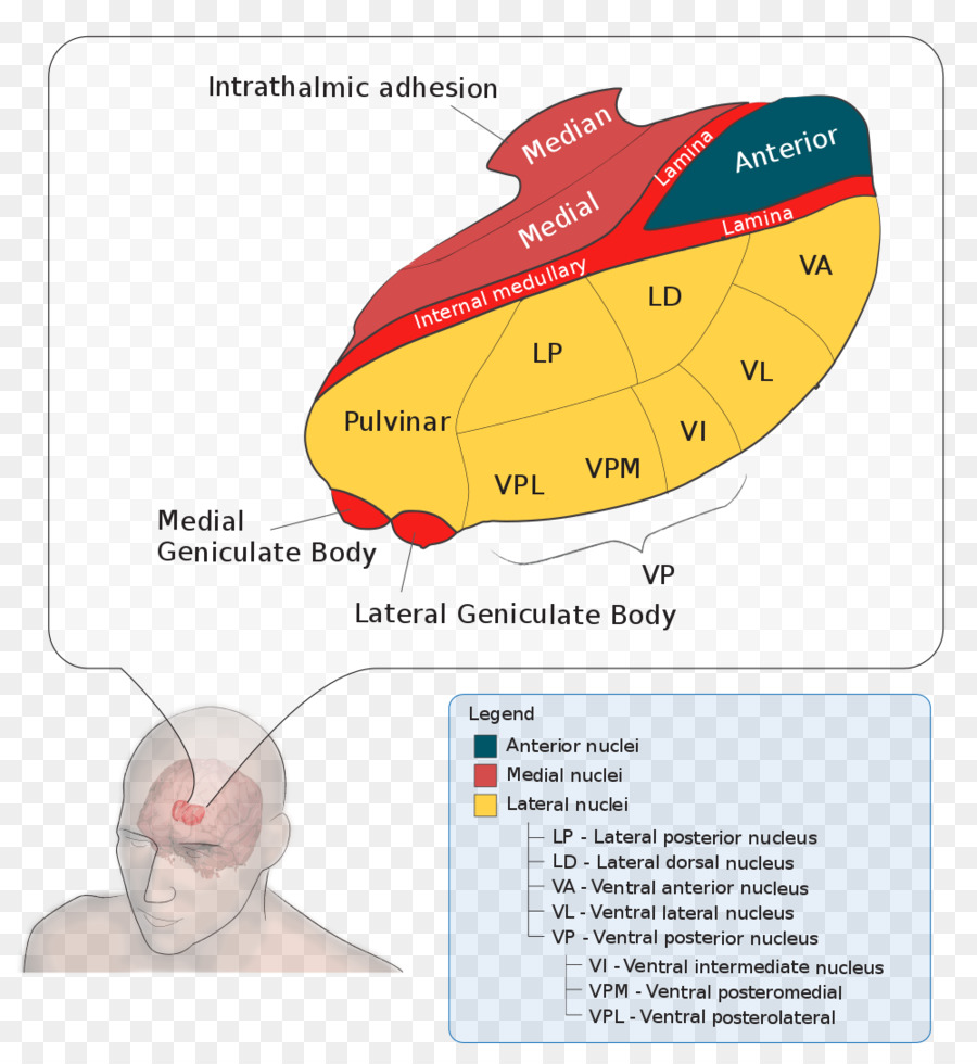 hight resolution of thalamus lateral geniculate nucleus medial geniculate nucleus text diagram png