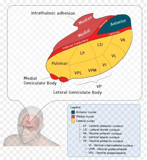 small resolution of thalamus lateral geniculate nucleus medial geniculate nucleus text diagram png