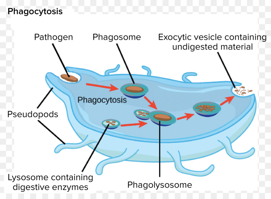 eukaryotic endomembrane system cell diagram 2007 ford fusion radio wiring golgi apparatus lysosome organelle others