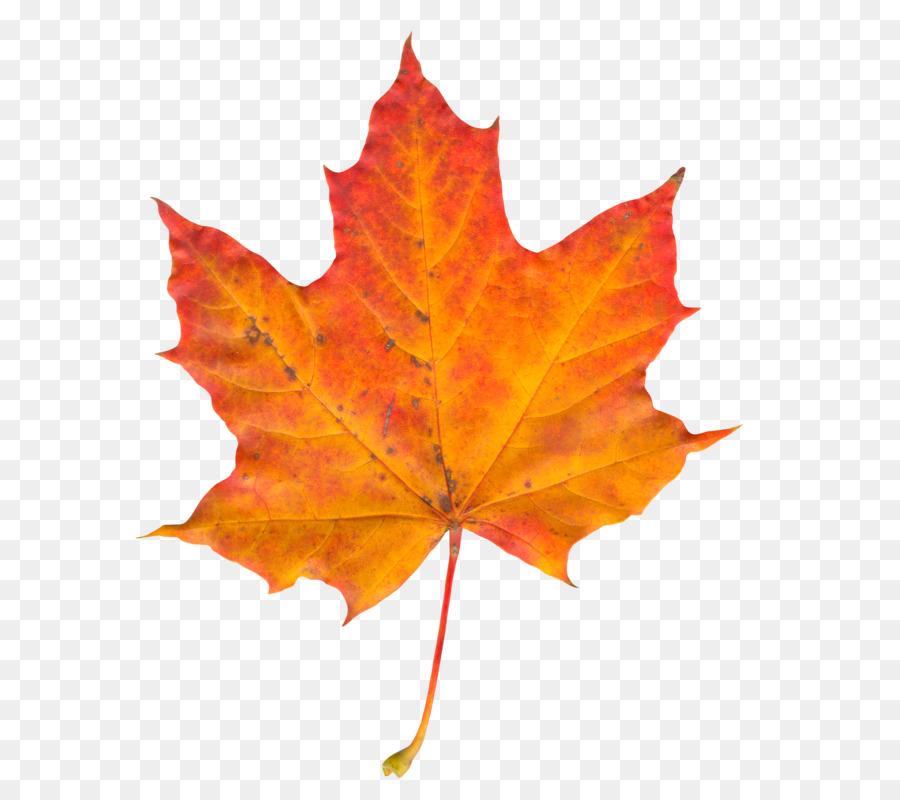 Fall Wallpaper Border Autumn Leaf Color Maple Leaf Leaf Png Download 752 800