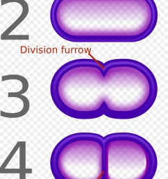 fission bacteria binary number text purple png [ 900 x 1900 Pixel ]