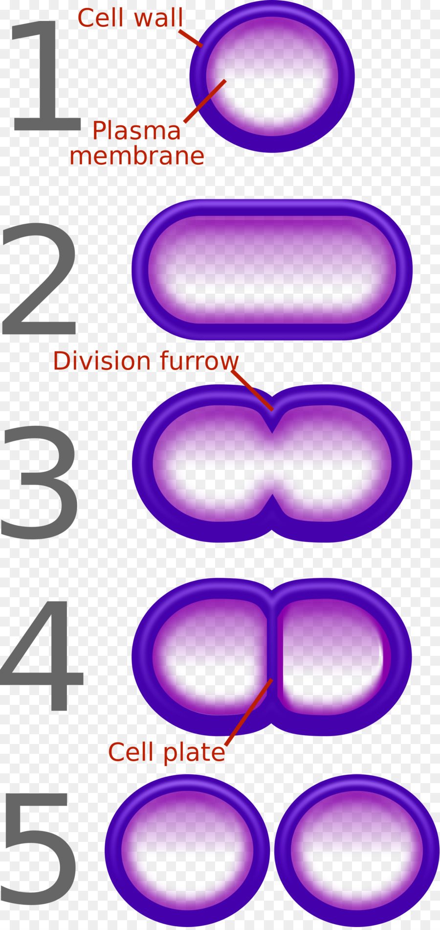 hight resolution of fission bacteria binary number text purple png