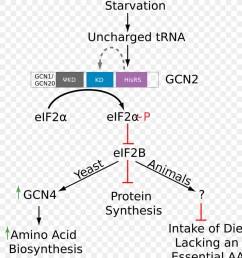 phosphorylation amino acid eukaryotic initiation factor text diagram png [ 900 x 1080 Pixel ]