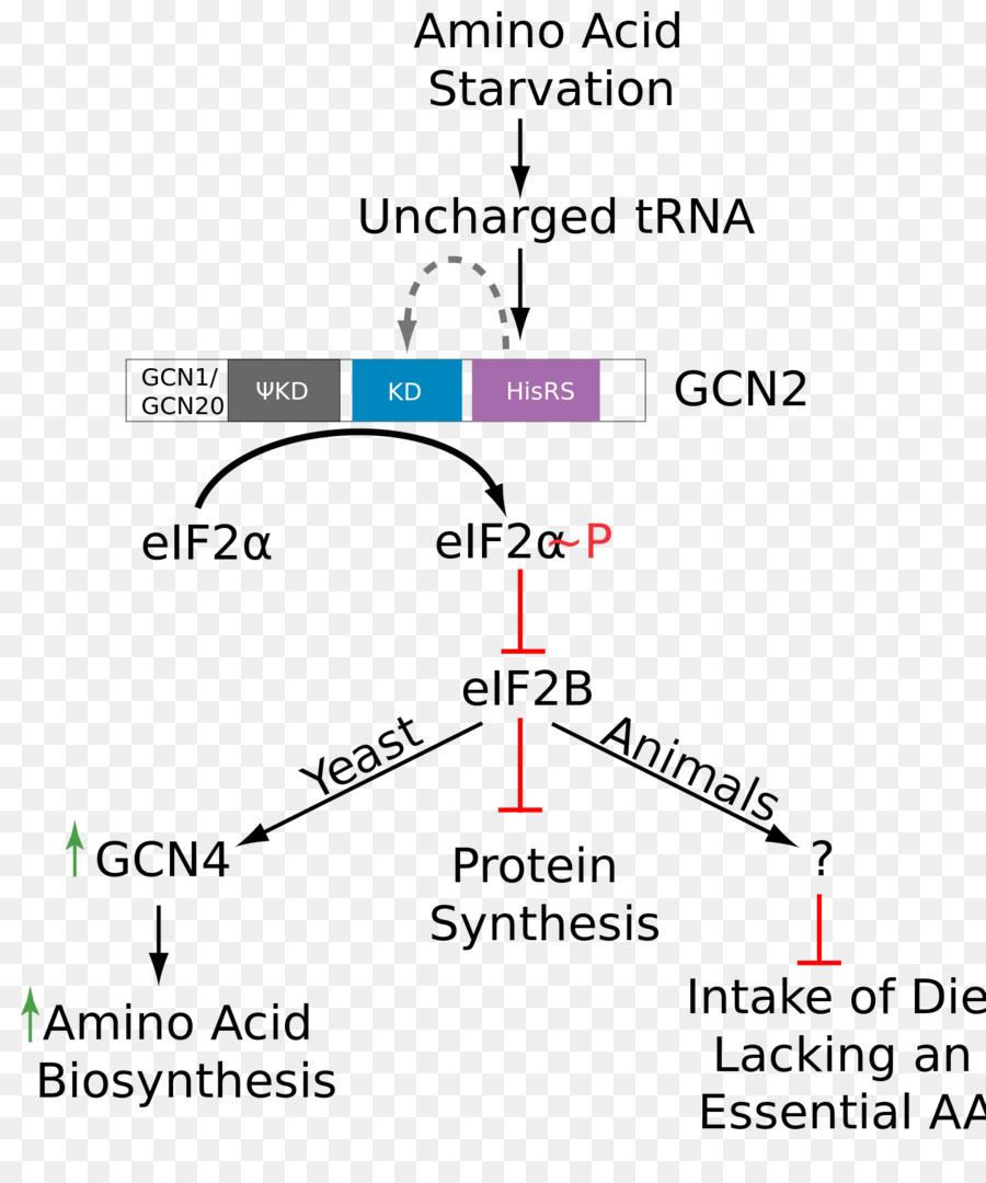 medium resolution of phosphorylation amino acid eukaryotic initiation factor text diagram png