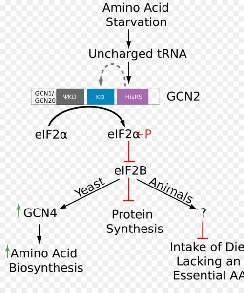 small resolution of phosphorylation amino acid eukaryotic initiation factor text diagram png