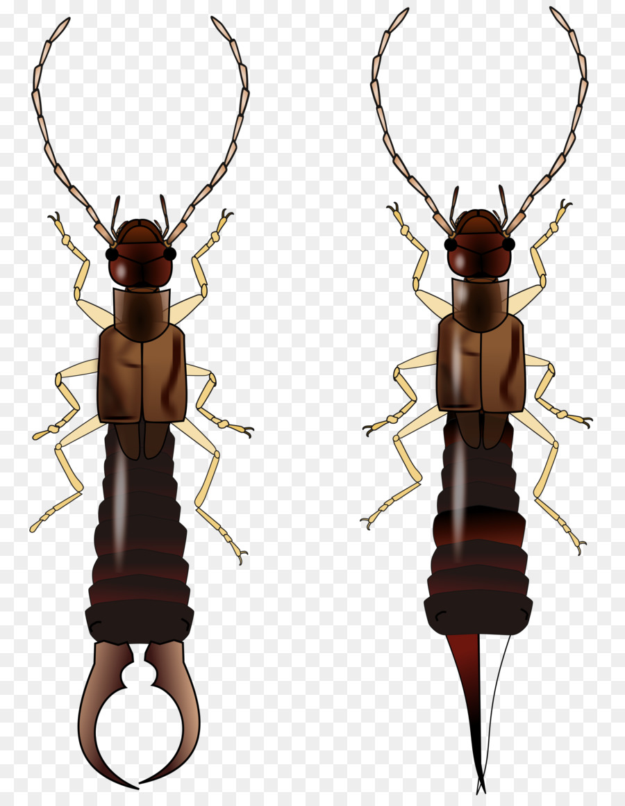 medium resolution of earwig insect wing beetle insect membrane winged insect png