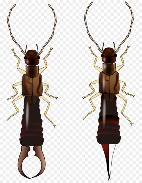 small resolution of earwig insect wing beetle insect membrane winged insect png