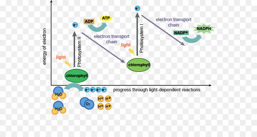 light reactions photosystem diagram house elevation dependent photosynthesis independent flow chart