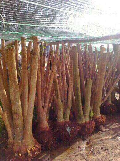 product - Dracaena fragrans- in Viet nam