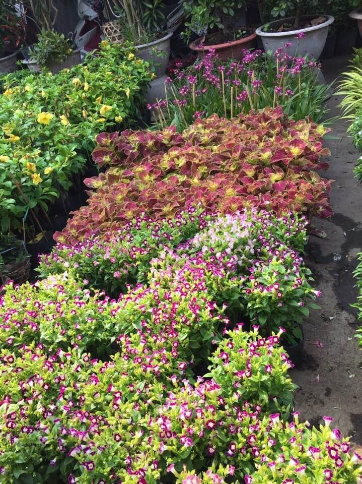 bán cây hoa bụi, thảm cỏ, cây lá màu cho công trình cây xanh