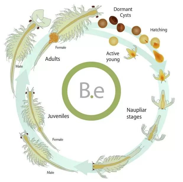 full brine shrimp life cycle