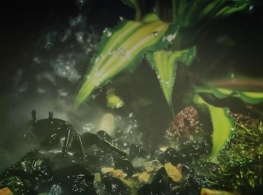 fiddler crabs are good paludarium animals