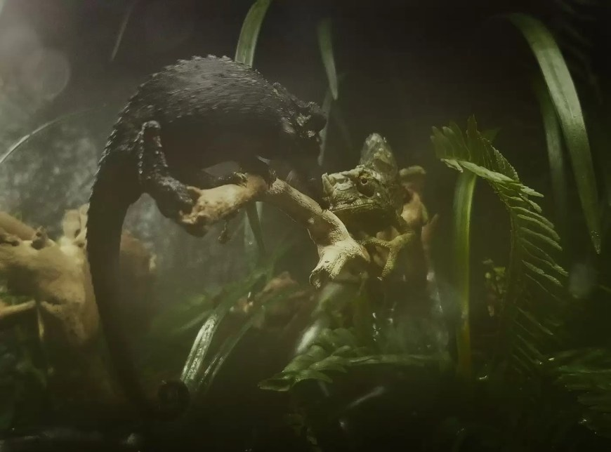 two jackson chameleons squaring off in this paludarium build