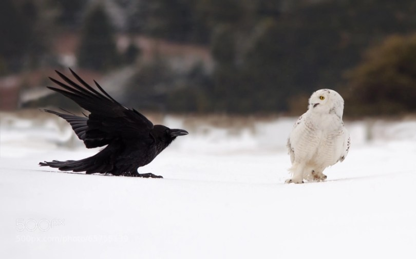 the hostility of the owl and the crow