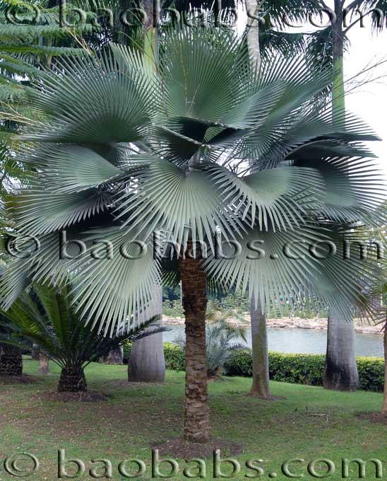 Palmiers et Assimiles