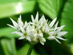 Bärlauch Blüte
