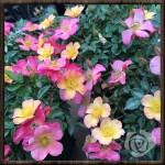 可愛く、たくさん、咲くバラ!