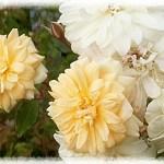 つるバラでもやっぱり四季咲きが好き!